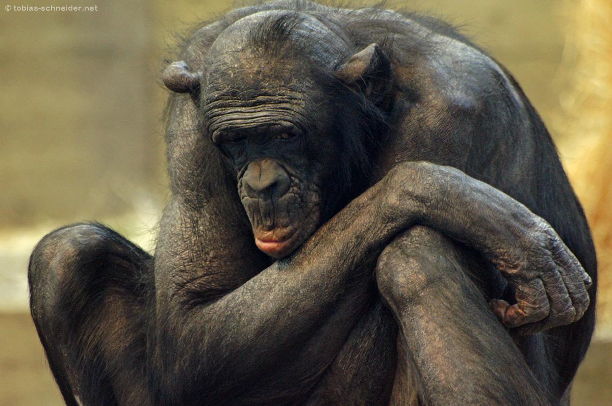 Alter Schimpanse